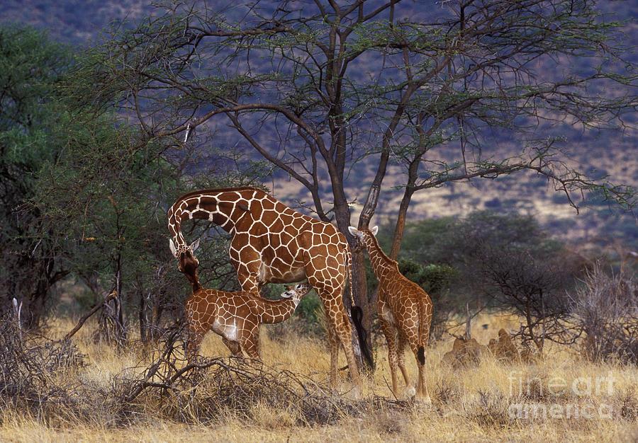 Giraffe Photograph - A Tender Moment by Sandra Bronstein