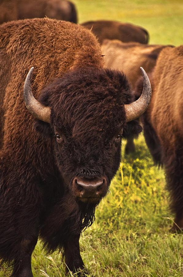 Buffalo Photograph - A Thoughful Moment by Tamyra Ayles