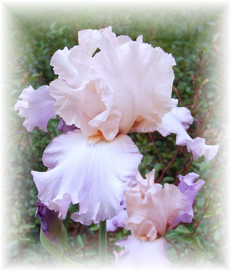 Iris Photograph - A Touch Of Lavender by Carol Sweetwood