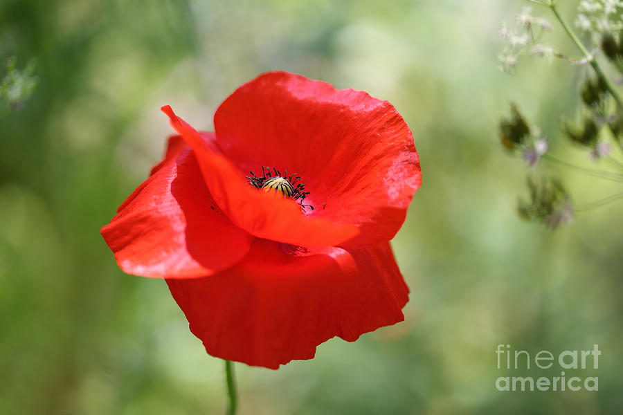 Poppy Photograph - A Touch Of Sunlight... by LHJB Photography