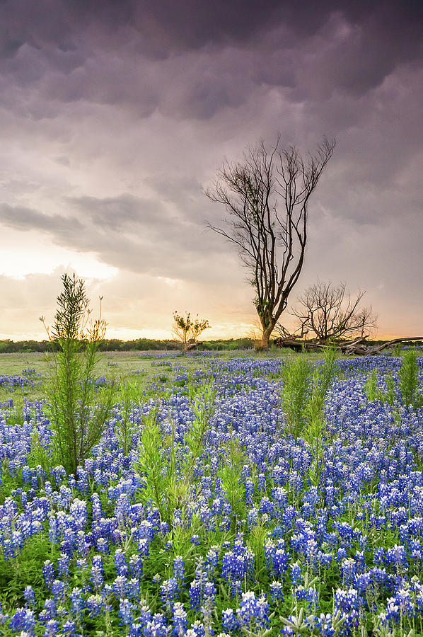 Texas Wildflowers Photograph - A Tree Of Wildflower Field Under Stormy Clouds - Texas by Ellie Teramoto