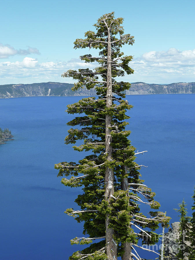 Crater Lake Oregon Photograph - A Tree With A View by Methune Hively