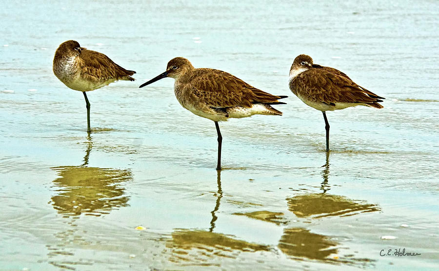 Willet Photograph - A Trio by Christopher Holmes