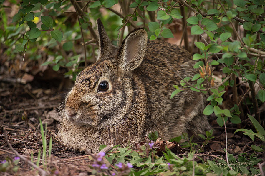 Wild Rabbit Photograph - A Very Fine Bunny Resting Under The Lilac Bush by Karen Casey-Smith