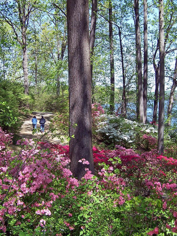 A Walk Among The Azaleas Photograph by Iris Posner
