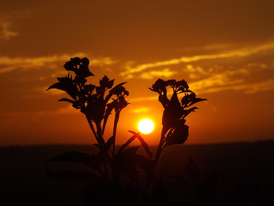 A Weed Sunset Photograph by Rebecca Cearley