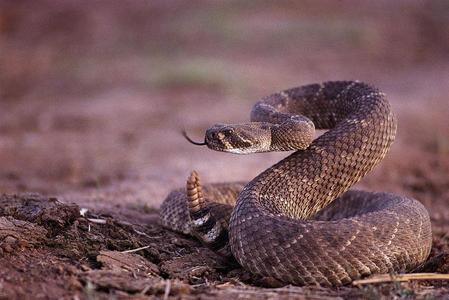 A Western Diamondback Rattlesnake Photograph by Joel Sartore Western Diamondback Rattlesnake Striking