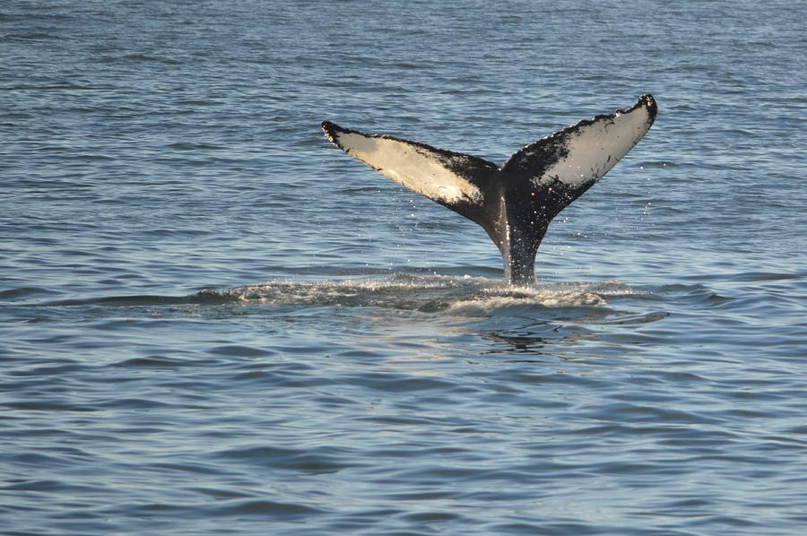 A Whale of a Tail Bar Harbor by Lena Hatch