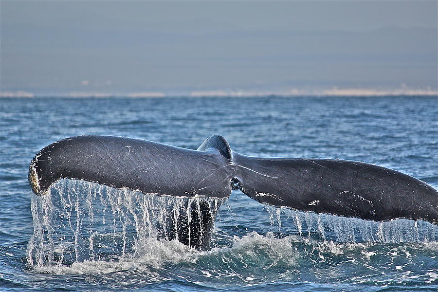 Whale Photograph - A Whale Of A Tale by Diana Hatcher
