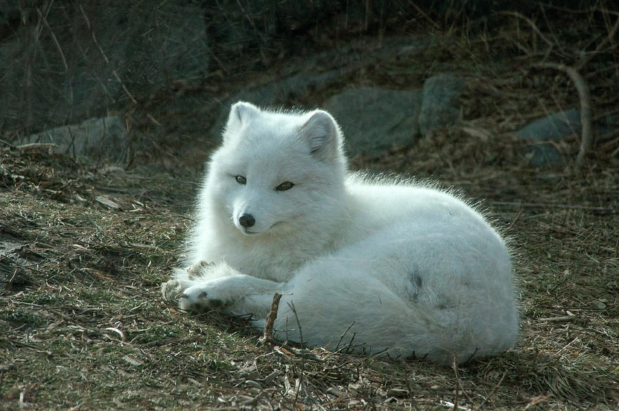 A White Fox Photograph