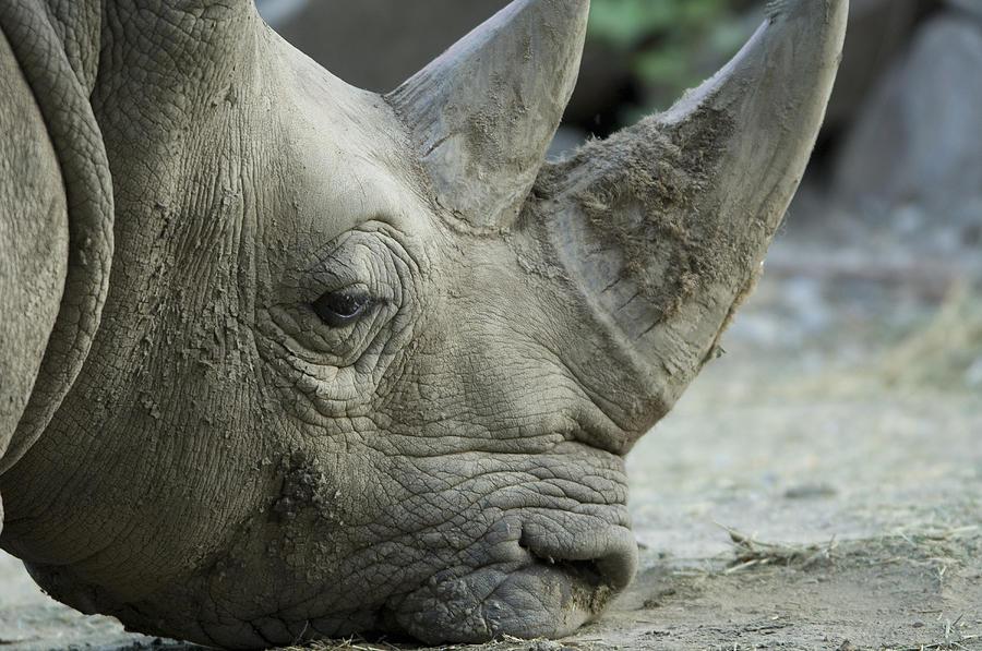 Nobody Photograph - A White Rhino Sniffs The Muddy Ground by Joel Sartore