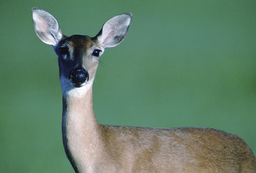 White-tailed Deer Photograph - A White-tailed Deer On The Prairie by Joel Sartore