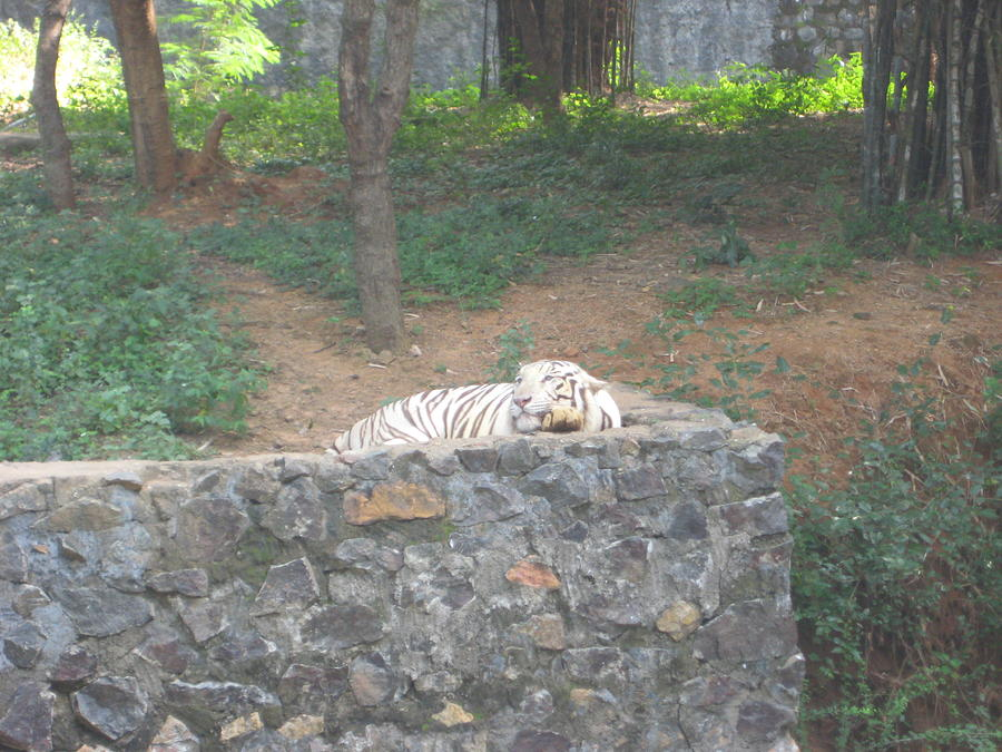 Animals Photograph - A White Tiger Sleeping by Siddarth Rai