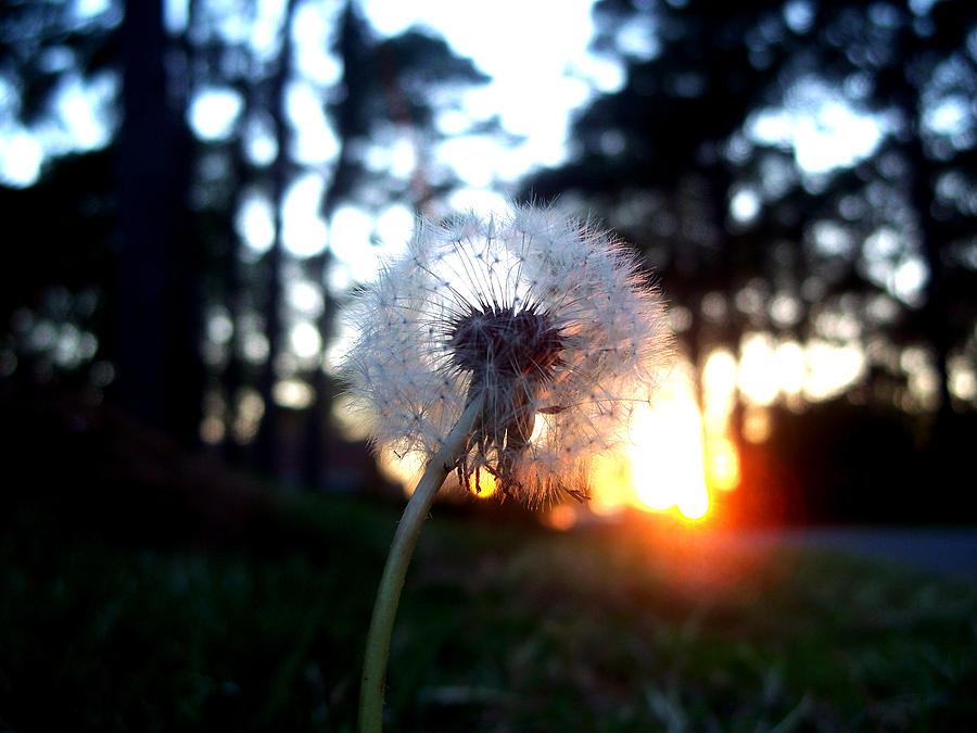 Dandelion Photograph - A Wishful Evening by Alexandra Harrell