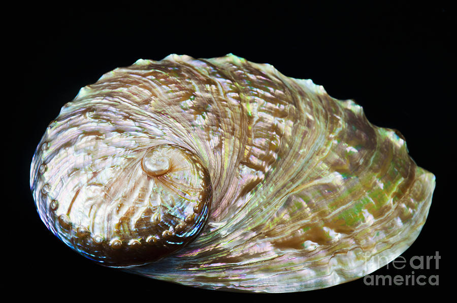 Abalone Photograph - Abalone Shell by Bill Brennan - Printscapes