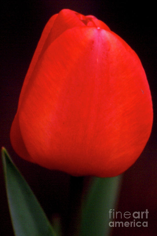 Background Photograph - About To Bloom by Alan Look
