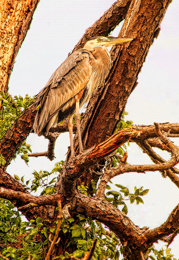 Heron Photograph - Above The Fray by Ola Allen