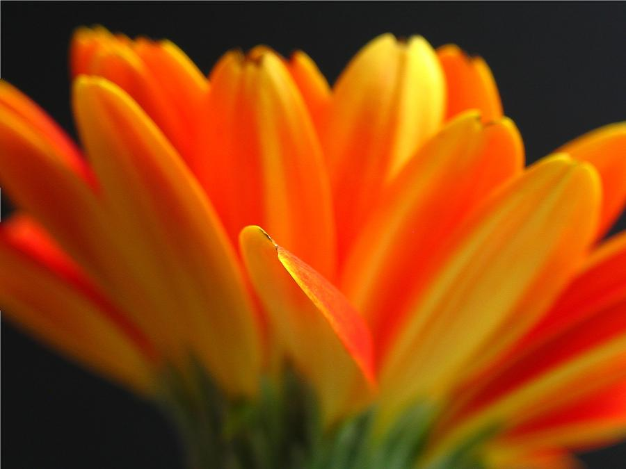 Gerber Daisy Photograph - Abstract Gerbera Petals by Juergen Roth