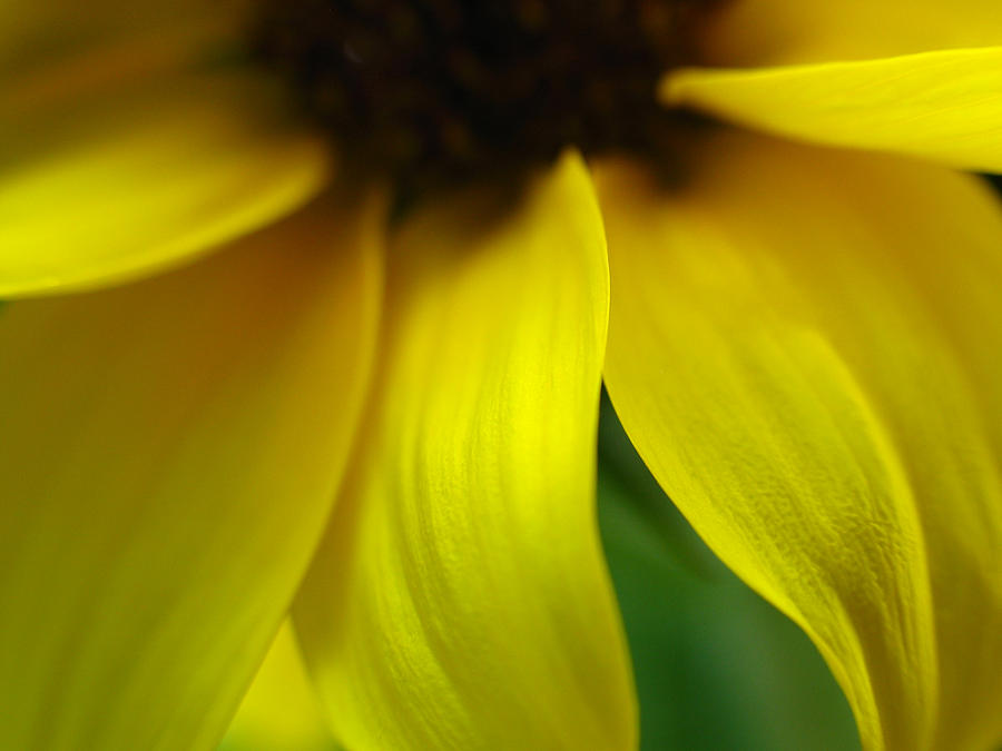 Sunflower Photograph - Abstract Sunflower by Juergen Roth