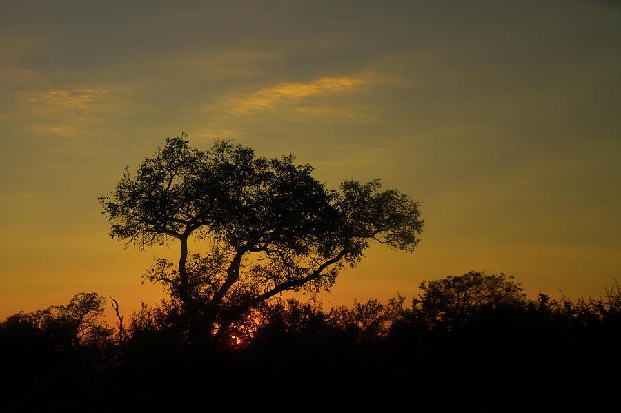 Acacia Photograph - Acacia Awakening by Nancy Morrison