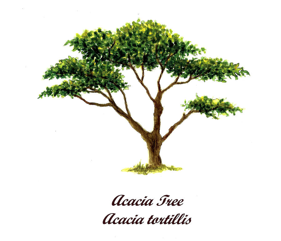 Acacia Tree Number Two Painting By Michael Vigliotti