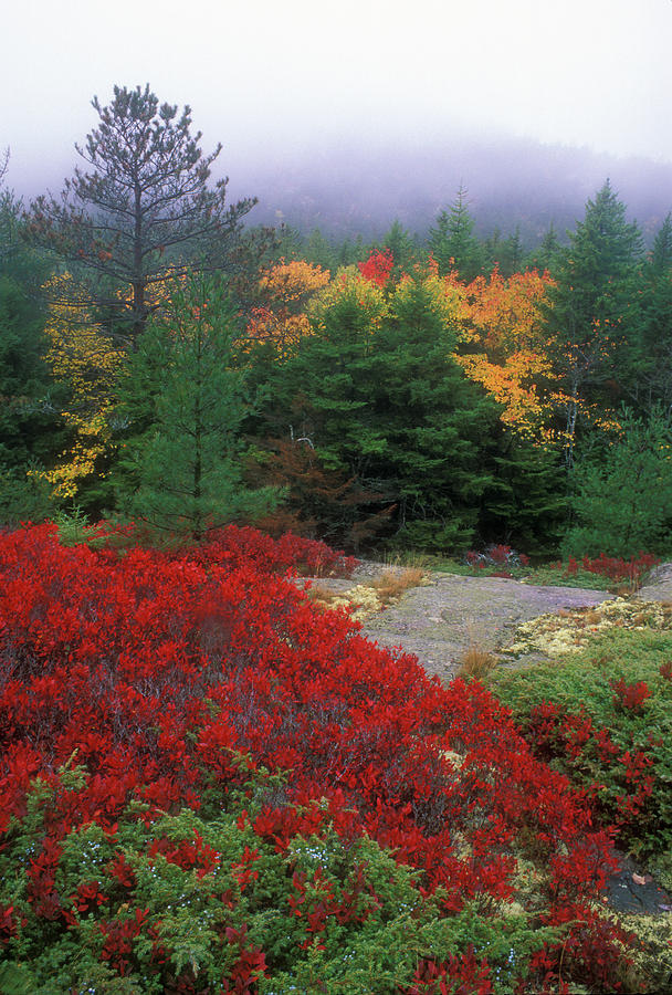 Forest Photograph - Acadia National Park Foliage by John Burk