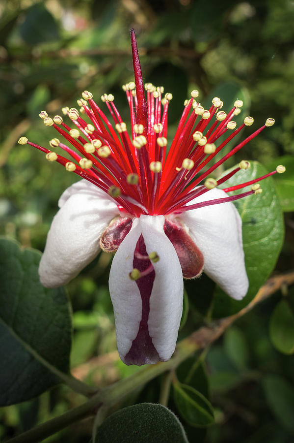 Acca Sellowiana Flower Photograph By Claudio Bergero