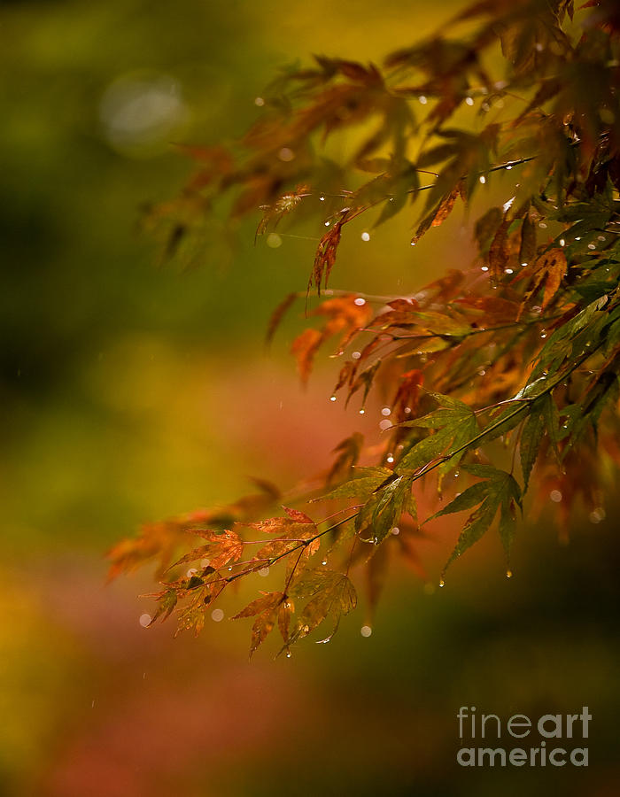 Acer Photograph - Acer Jewels by Mike Reid