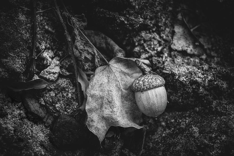 Acorn Photograph - Acorn by Tom Mc Nemar