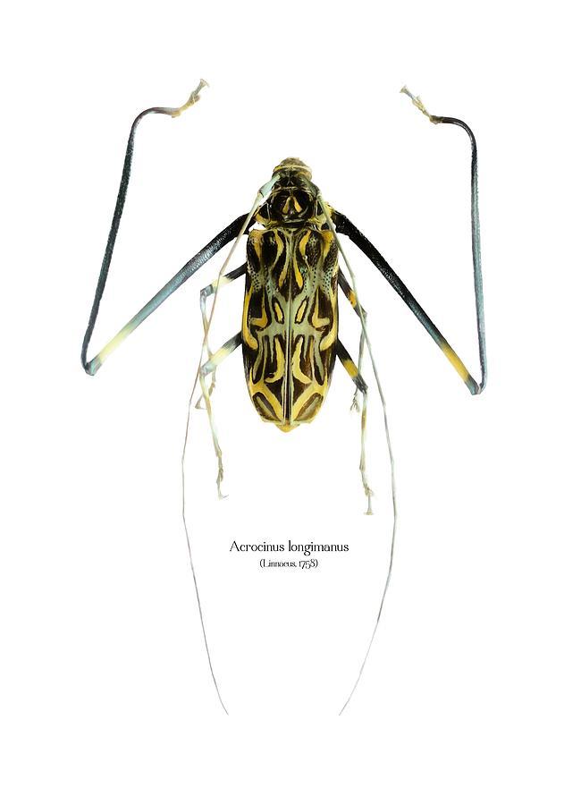 Nature Digital Art - Acrocinus II by Geronimo Martin Alonso