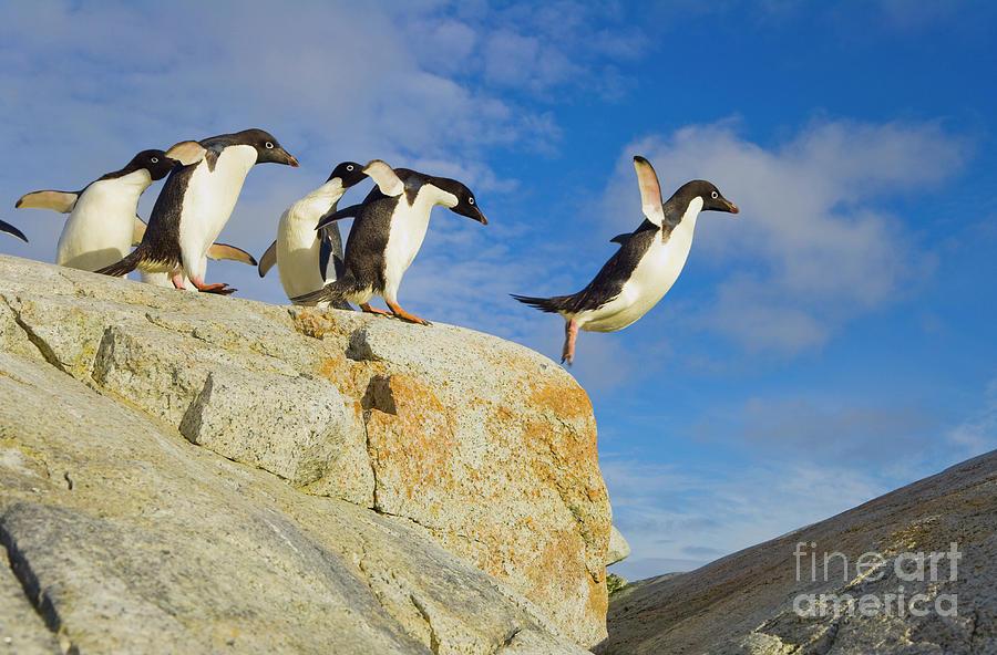 Mp Photograph - Adelie Penguins Jumping by Yva Momatiuk John Eastcott
