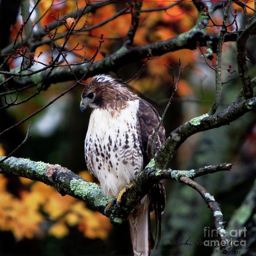 Adolescent Red Shouldered Hawk by John Sandiford