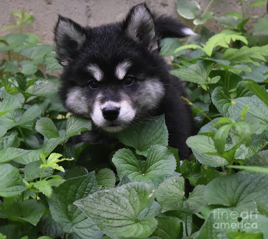 Dog Photograph - Adorable Alusky Puppy Hiding In A Garden by DejaVu Designs