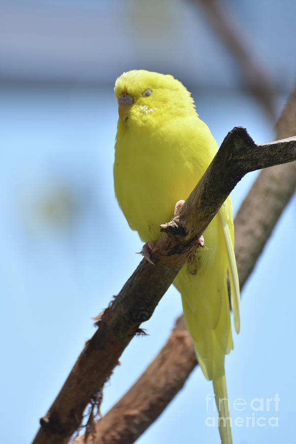 Budgie Photograph - Adorable Face Of A Yellow Budgie Parakeet by DejaVu Designs