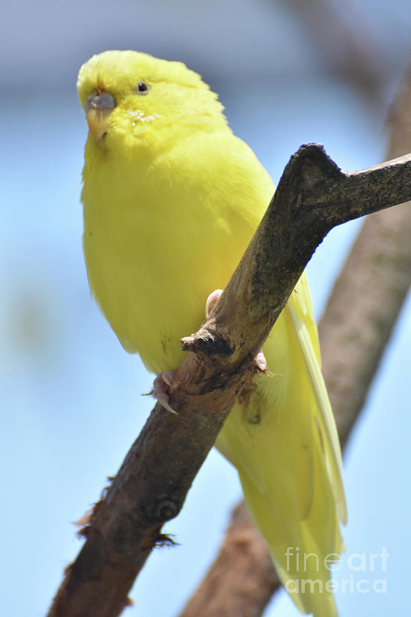 Budgie Photograph - Adorable Little Yellow Budgie In The Wild by DejaVu Designs