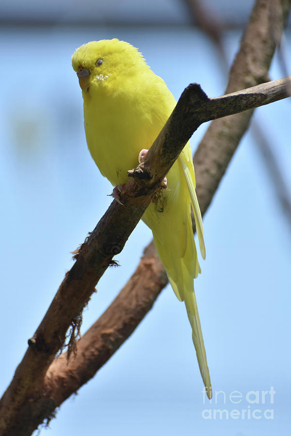 Budgie Photograph - Adorable Little Yellow Parakeet In A Tree by DejaVu Designs