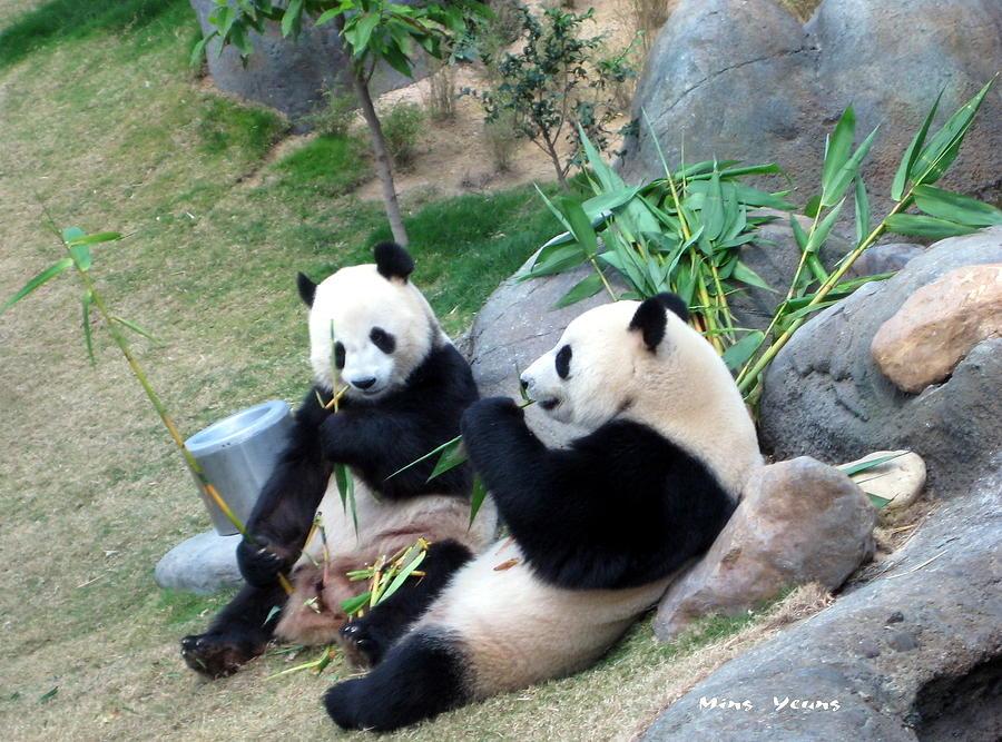 Panda Photograph - Adorable Pandas by Ming Yeung