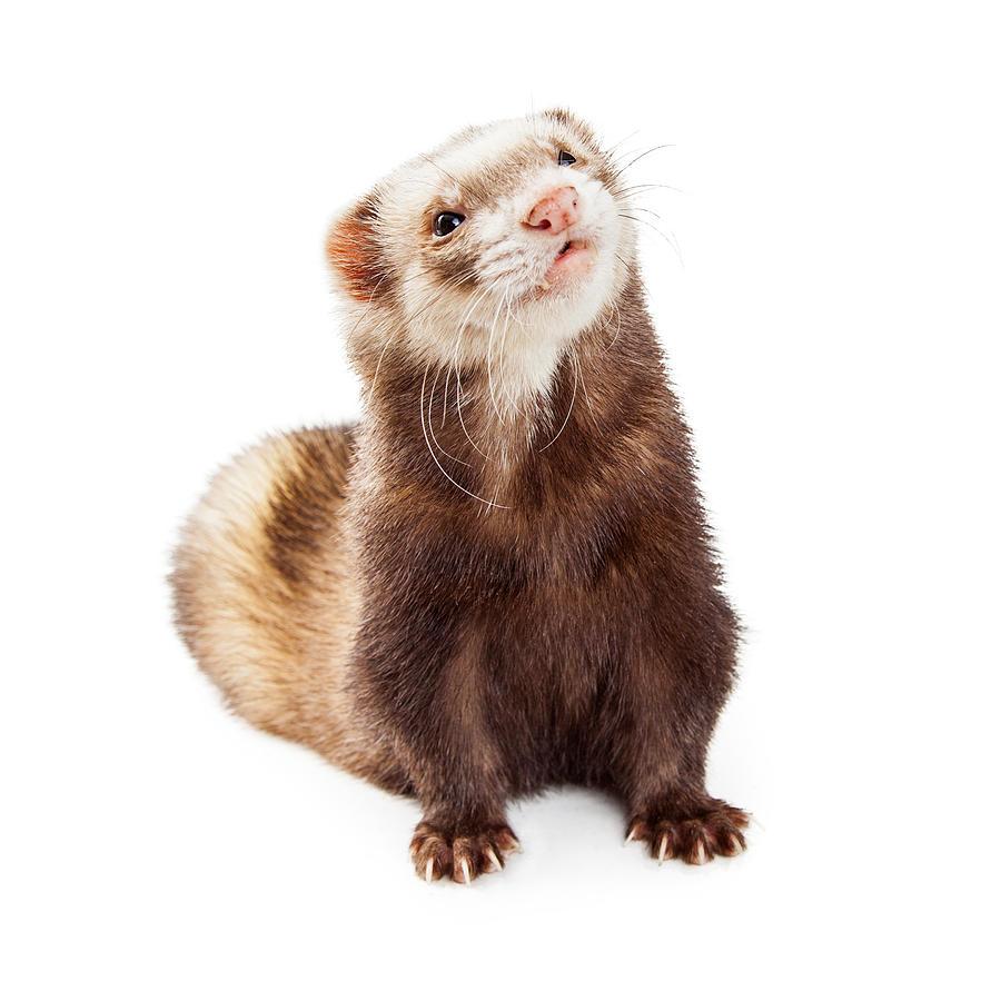 Animal Photograph - Adorable Pet Ferret Looking Up by Susan Schmitz