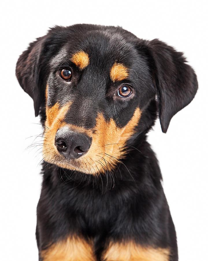 Adorable Photograph - Adorable Rottweiler Crossbreed Puppy Close-up by Susan Schmitz
