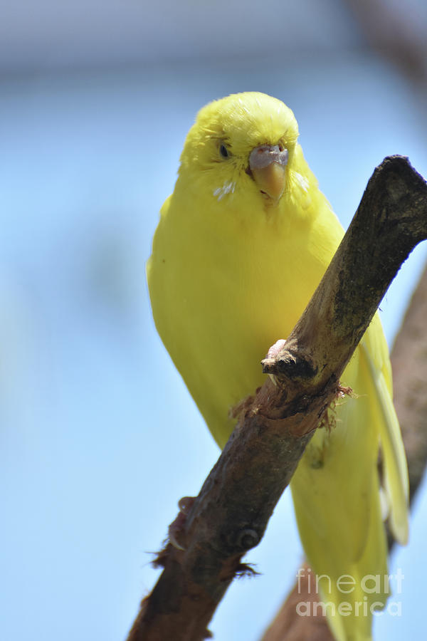 Budgie Photograph - Adorable Yellow Budgie Parakeet Bird Close Up by DejaVu Designs