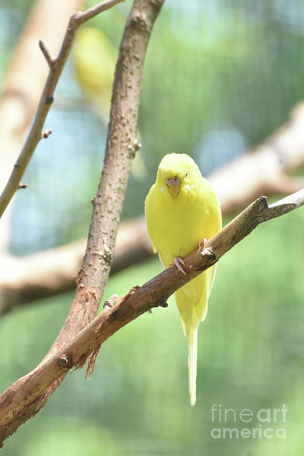Budgie Photograph - Adorable Yellow Budgie Parakeet Relaxing In A Tree by DejaVu Designs