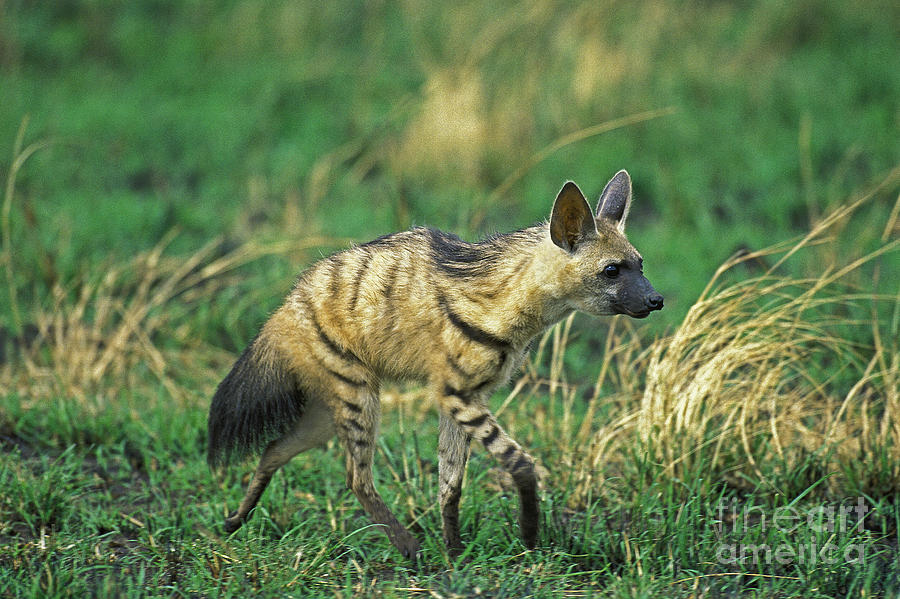 Aardwolf Photograph - Adult Aardwolf Proteles Cristatus by Gerard Lacz
