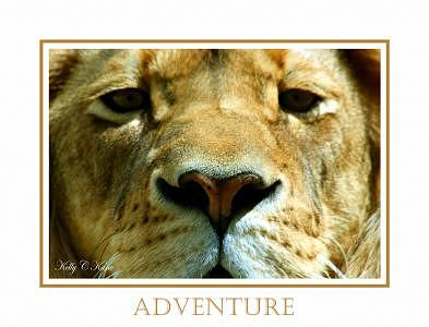 Lion Photograph - Adventure by Kelly  Kane