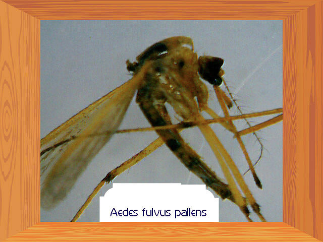 Insect Photograph - Aedes Fulvus Pallens- Mosquito by Barbara Searcy