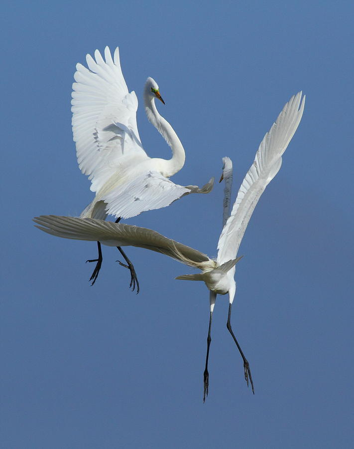Great Egret Photograph - Aerial Ballet by Andrew McInnes