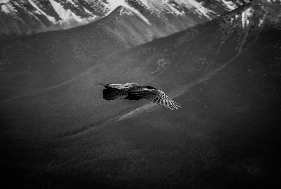 Eagle Photograph - Aerial Predator Over Banff by Alex Rossi