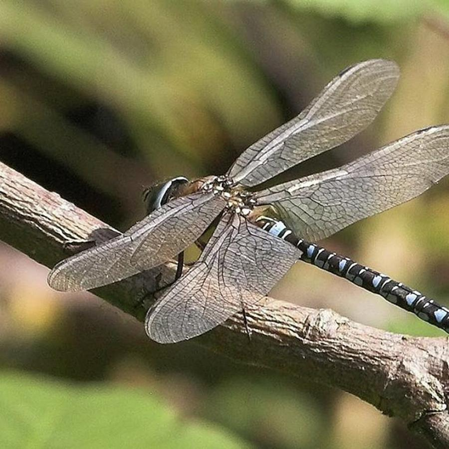 Dragonfly Photograph - Aeshna Juncea - Common Hawker taken At by John Edwards