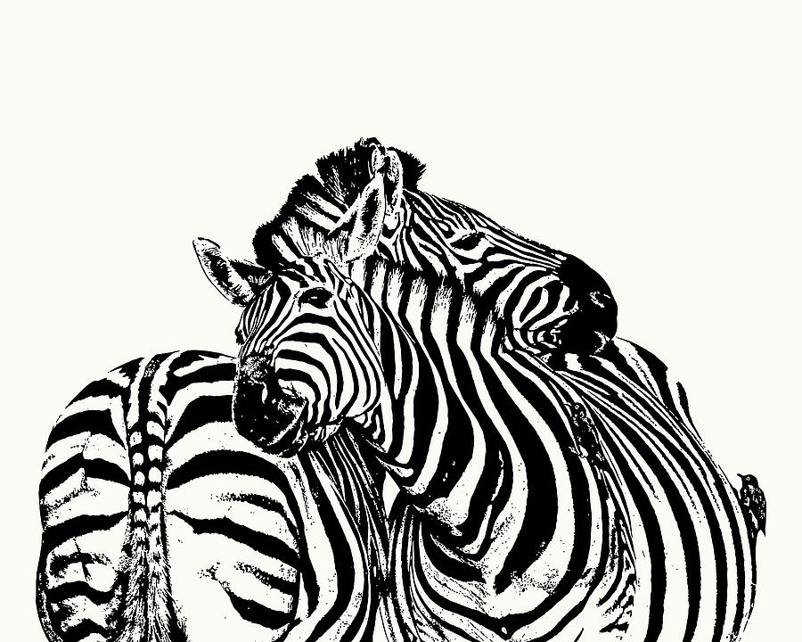 Zebra Photograph - Affectionate Zebra Pair by Scotch Macaskill