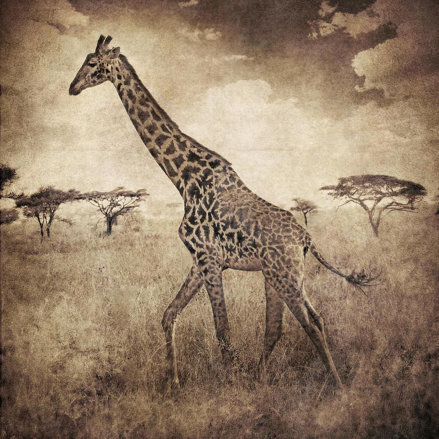 Brett Digital Art - Africa Series - Giraffe by Brett Pfister