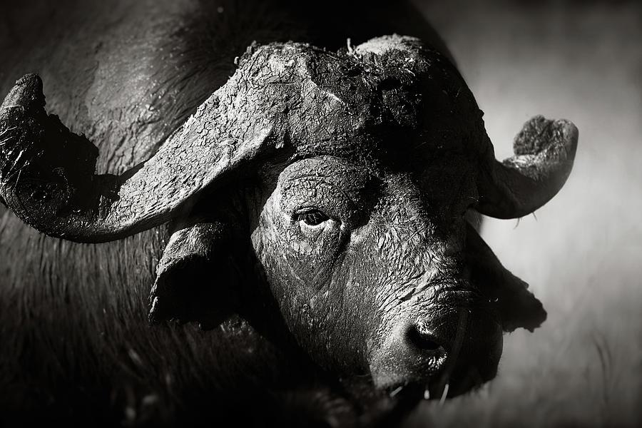 Buffalo Photograph - African Buffalo Bull Close-up by Johan Swanepoel